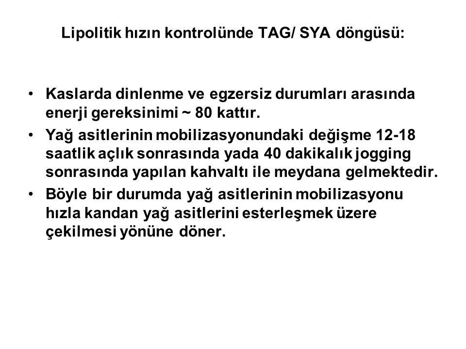 Lipolitik hızın kontrolünde TAG/ SYA döngüsü: