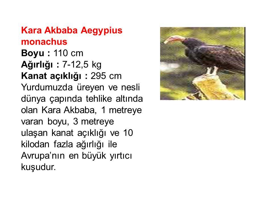Kara Akbaba Aegypius monachus