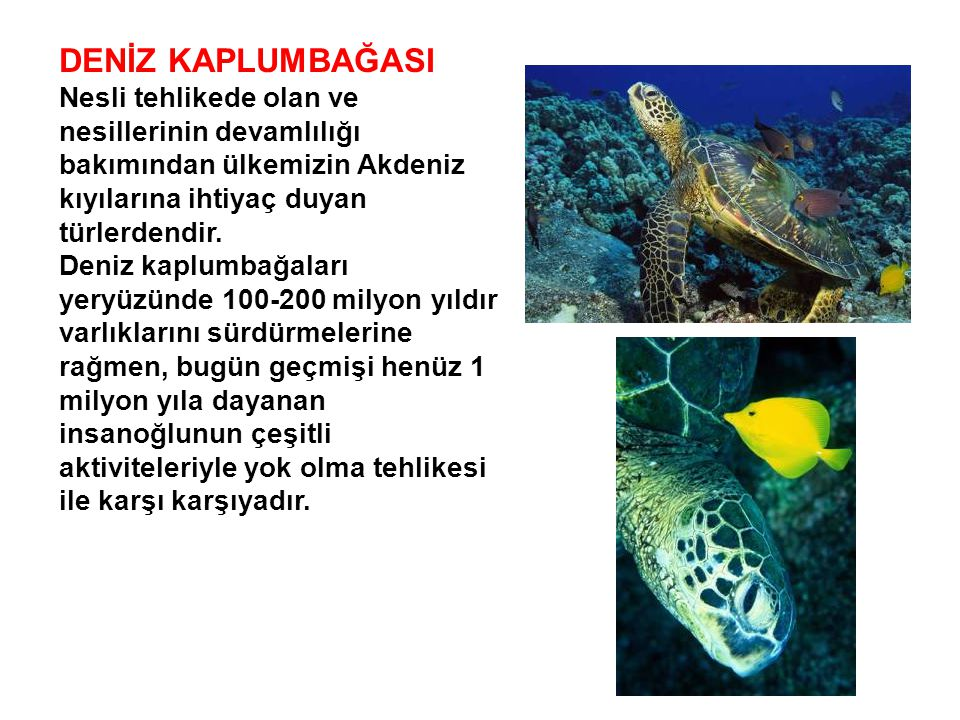 DENİZ KAPLUMBAĞASI Nesli tehlikede olan ve nesillerinin devamlılığı bakımından ülkemizin Akdeniz kıyılarına ihtiyaç duyan türlerdendir.