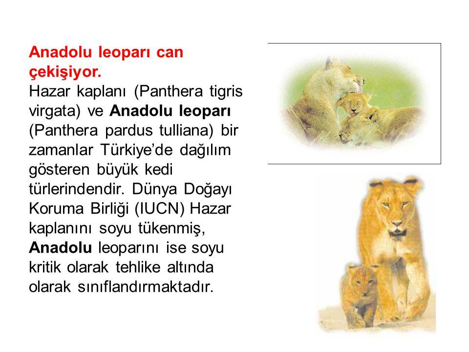 Anadolu leoparı can çekişiyor