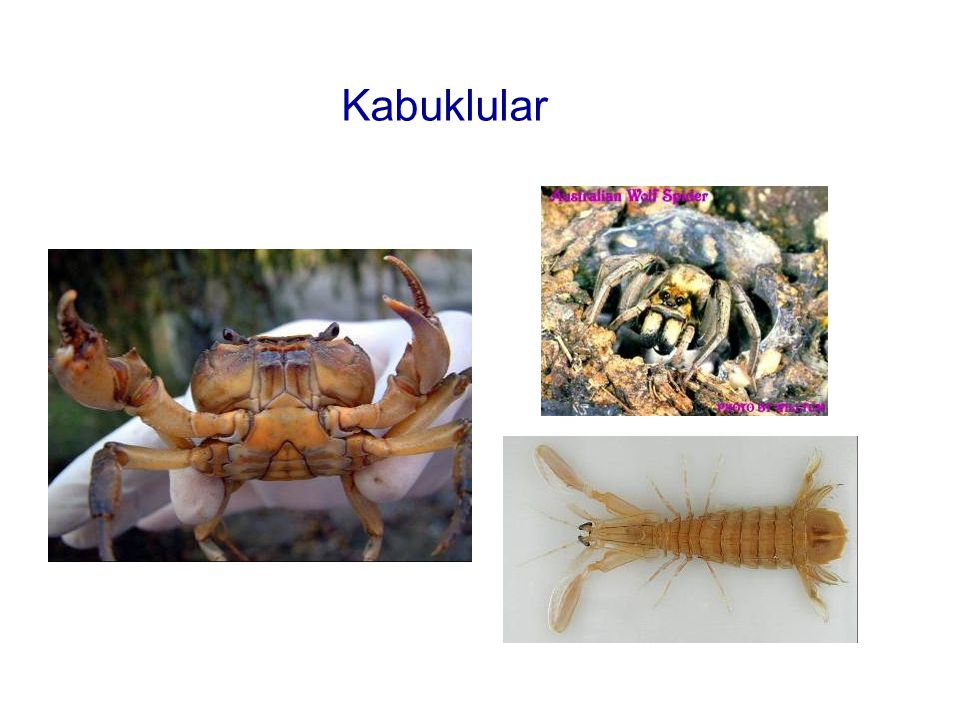 Kabuklular