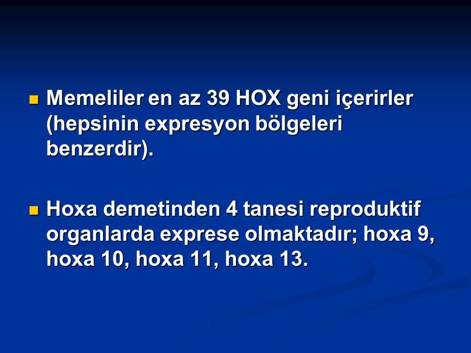 Memeliler en az 39 HOX geni içerirler (hepsinin expresyon bölgeleri benzerdir).