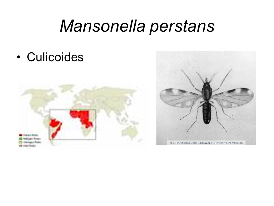 Mansonella perstans Culicoides