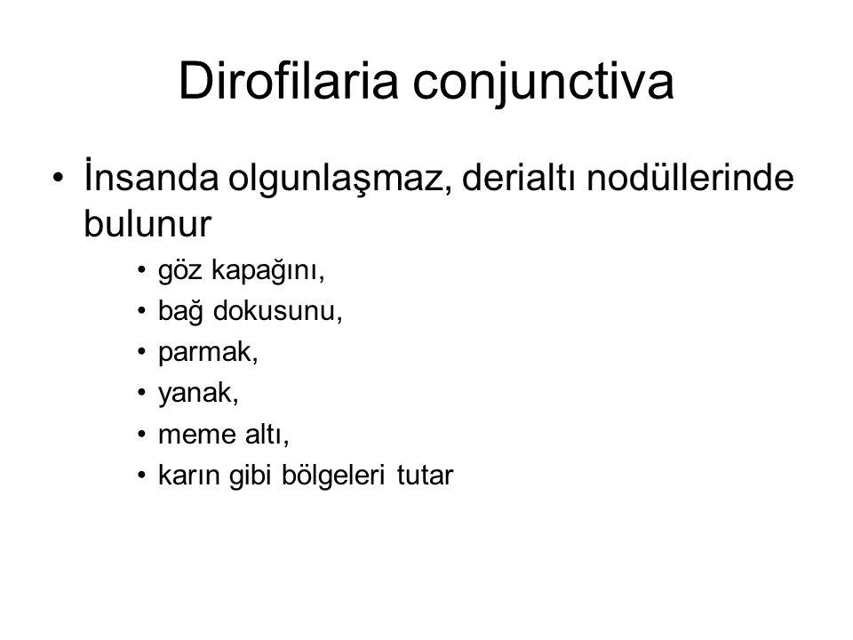 Dirofilaria conjunctiva
