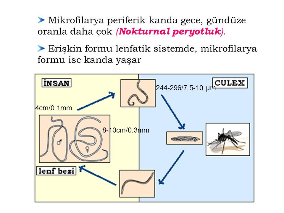 Erişkin formu lenfatik sistemde, mikrofilarya formu ise kanda yaşar