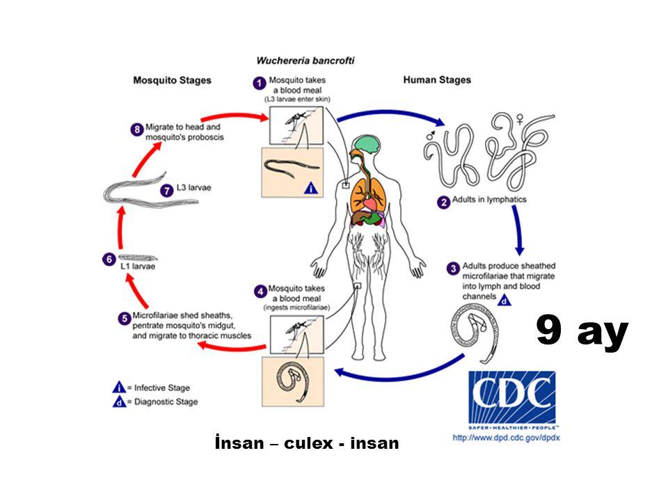 9 ay İnsan – culex - insan