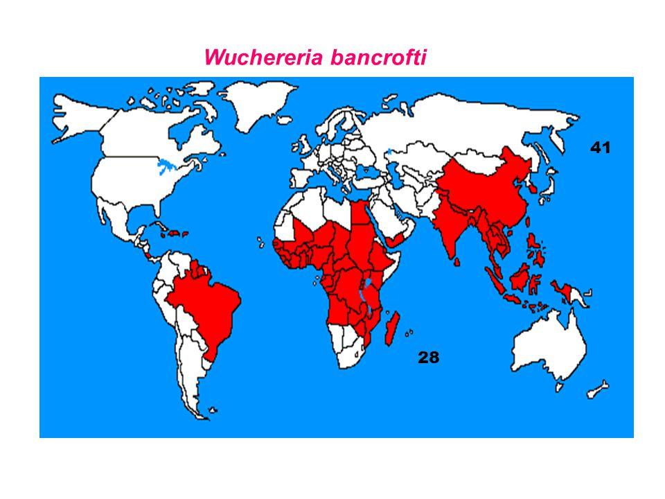 Wuchereria bancrofti 41 28