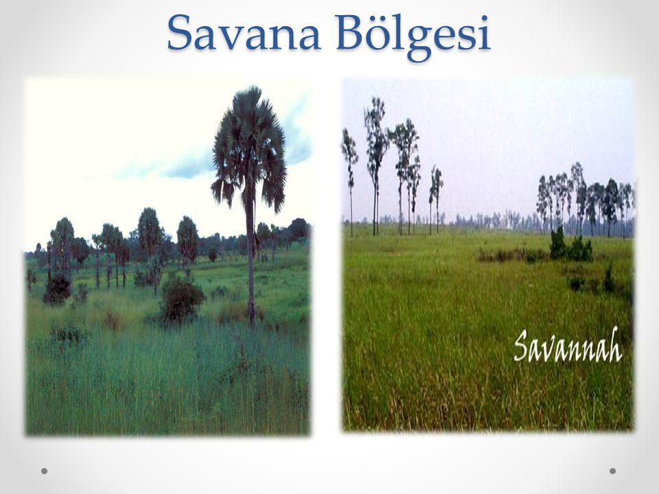 Savana Bölgesi