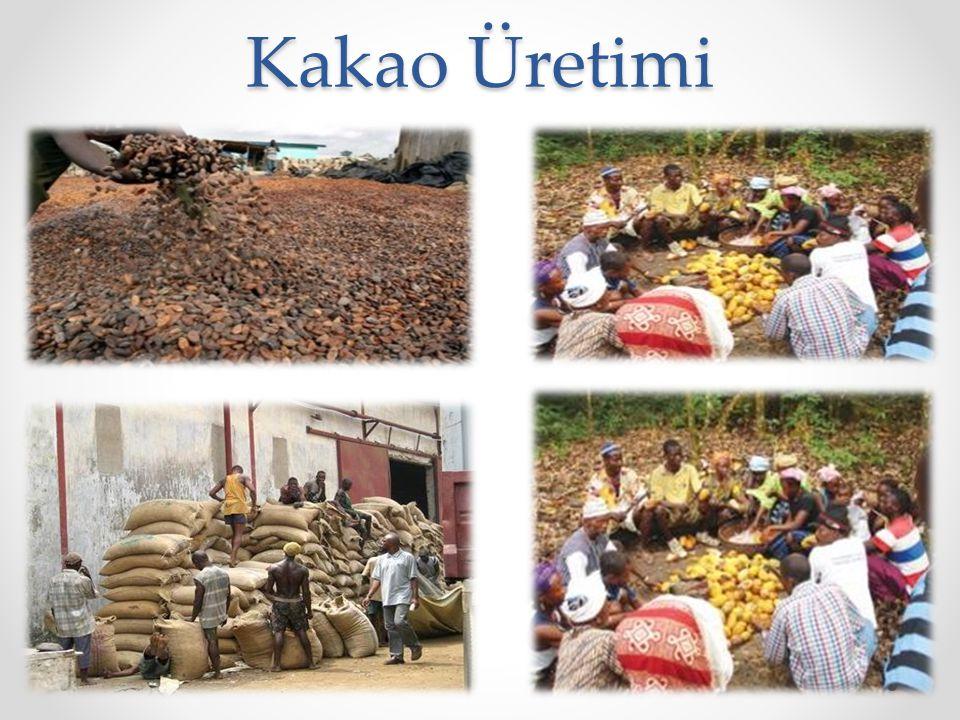 Kakao Üretimi