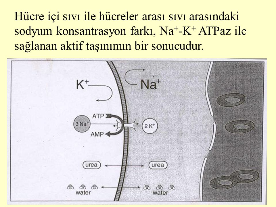 Hücre içi sıvı ile hücreler arası sıvı arasındaki sodyum konsantrasyon farkı, Na+-K+ ATPaz ile sağlanan aktif taşınımın bir sonucudur.