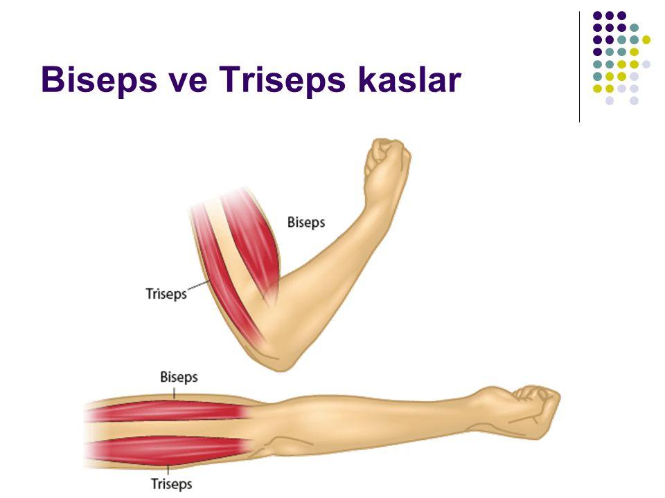 Biseps ve Triseps kaslar