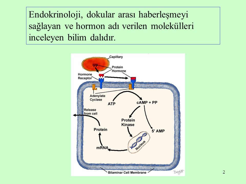 Endokrinoloji, dokular arası haberleşmeyi sağlayan ve hormon adı verilen molekülleri inceleyen bilim dalıdır.