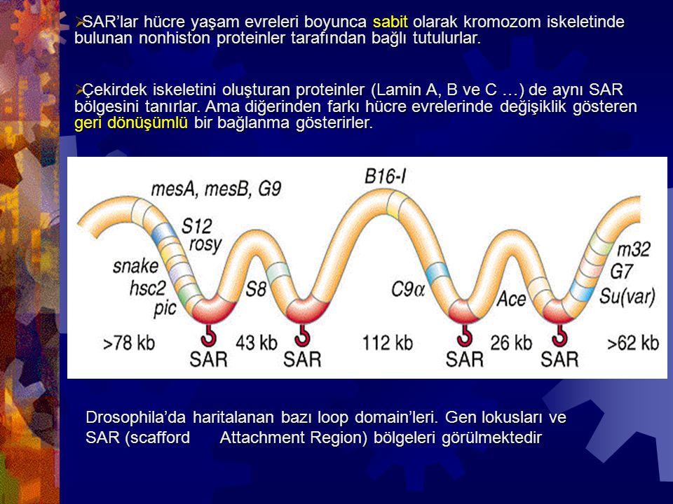 SAR'lar hücre yaşam evreleri boyunca sabit olarak kromozom iskeletinde bulunan nonhiston proteinler tarafından bağlı tutulurlar.