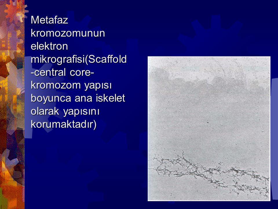 Metafaz kromozomunun elektron mikrografisi(Scaffold-central core-kromozom yapısı boyunca ana iskelet olarak yapısını korumaktadır)
