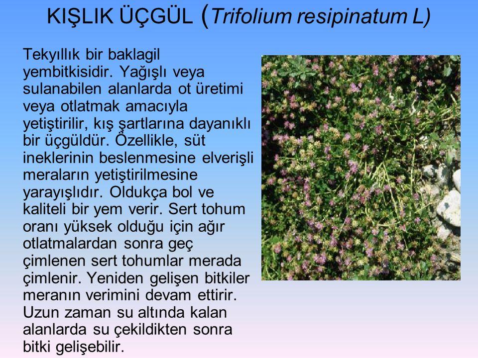 KIŞLIK ÜÇGÜL (Trifolium resipinatum L)