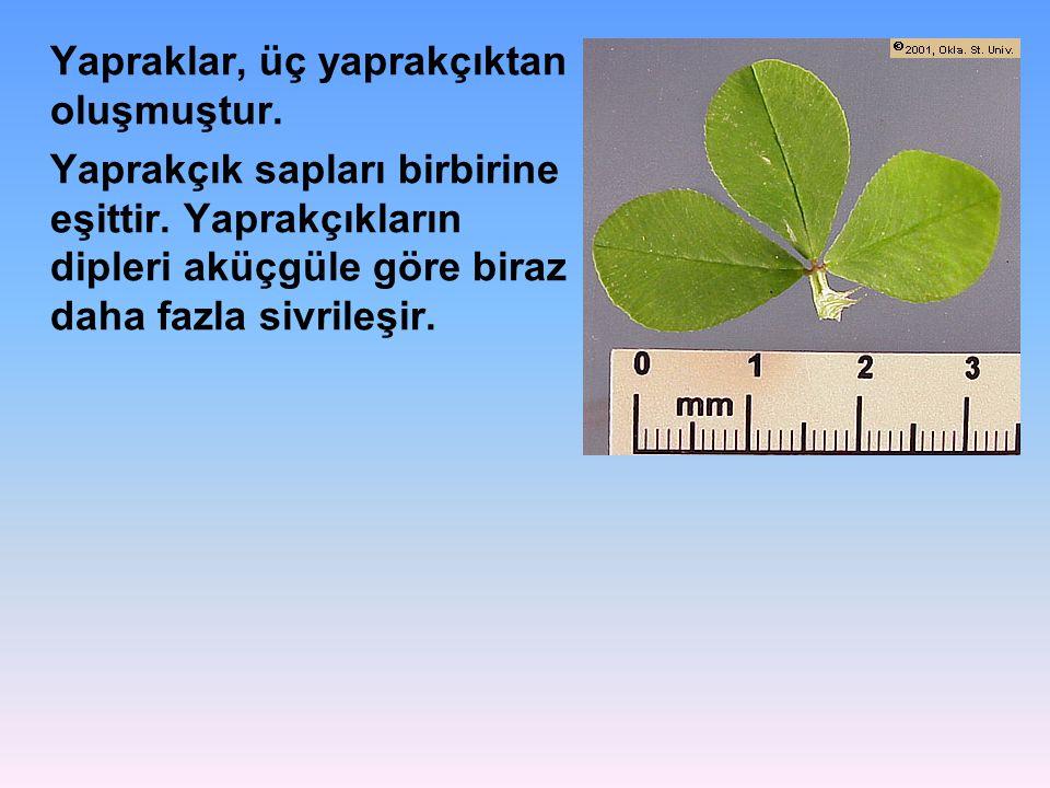 Yapraklar, üç yaprakçıktan oluşmuştur.