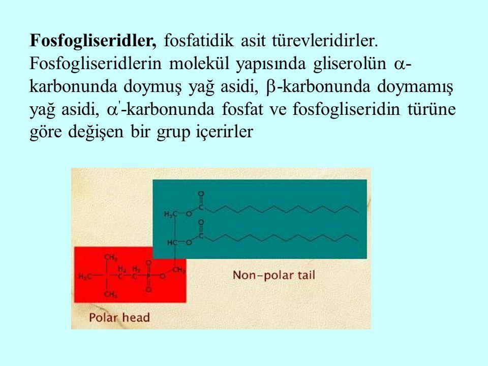 Fosfogliseridler, fosfatidik asit türevleridirler