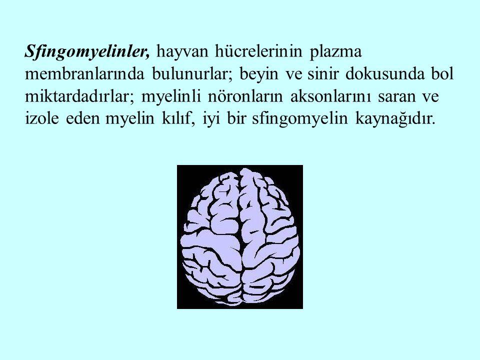 Sfingomyelinler, hayvan hücrelerinin plazma membranlarında bulunurlar; beyin ve sinir dokusunda bol miktardadırlar; myelinli nöronların aksonlarını saran ve izole eden myelin kılıf, iyi bir sfingomyelin kaynağıdır.