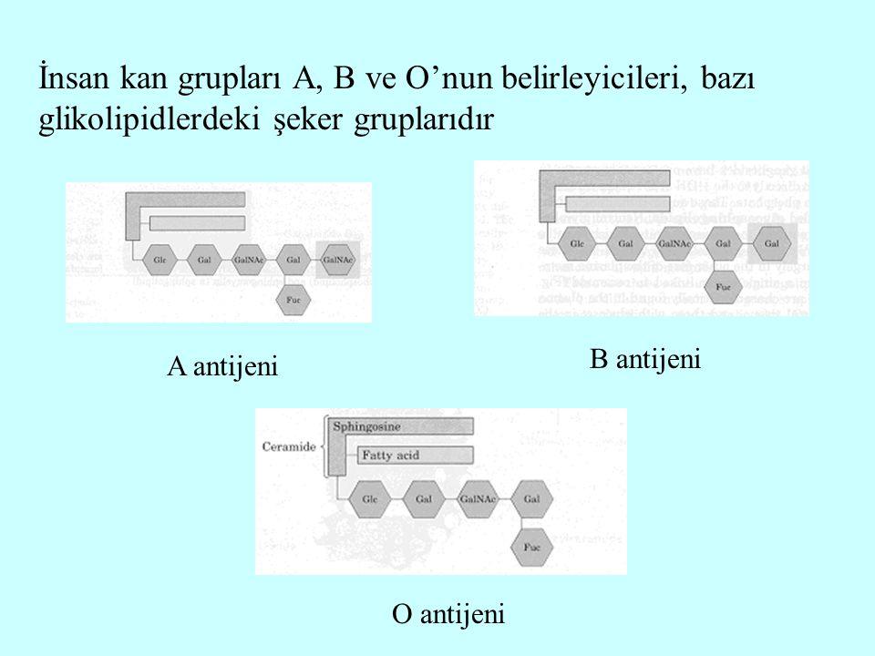 İnsan kan grupları A, B ve O'nun belirleyicileri, bazı glikolipidlerdeki şeker gruplarıdır