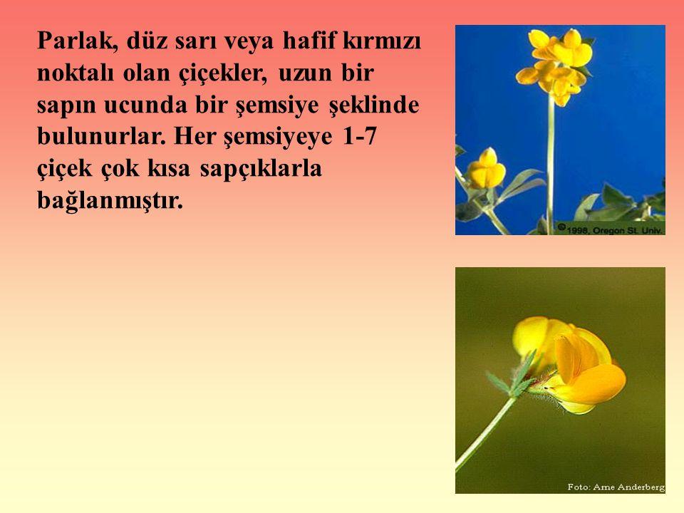 Parlak, düz sarı veya hafif kırmızı noktalı olan çiçekler, uzun bir sapın ucunda bir şemsiye şeklinde bulunurlar.