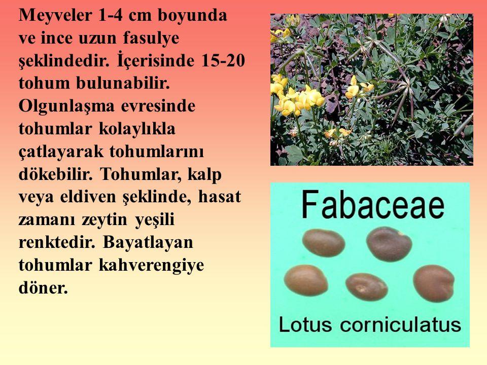 Meyveler 1-4 cm boyunda ve ince uzun fasulye şeklindedir