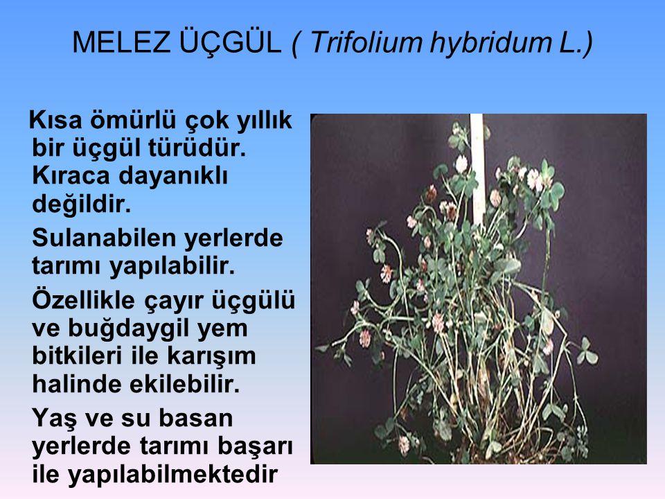 MELEZ ÜÇGÜL ( Trifolium hybridum L.)