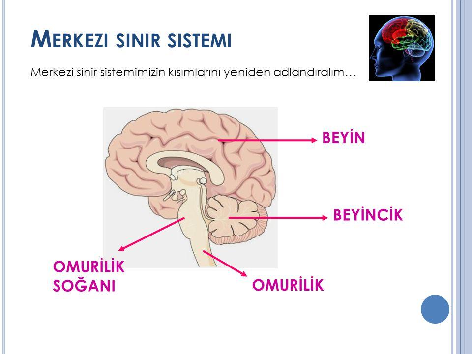 Merkezi sinir sistemi BEYİN BEYİNCİK OMURİLİK SOĞANI OMURİLİK