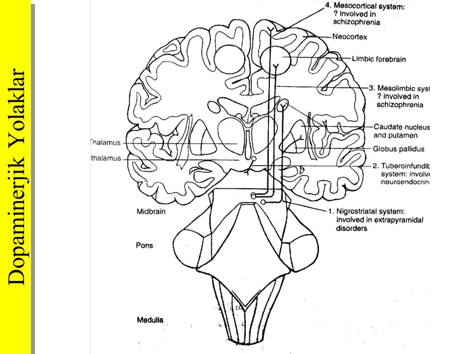 Dopaminerjik Yolaklar