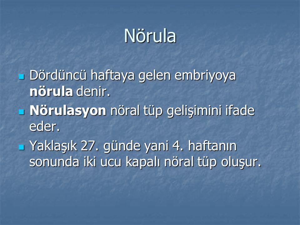 Nörula Dördüncü haftaya gelen embriyoya nörula denir.
