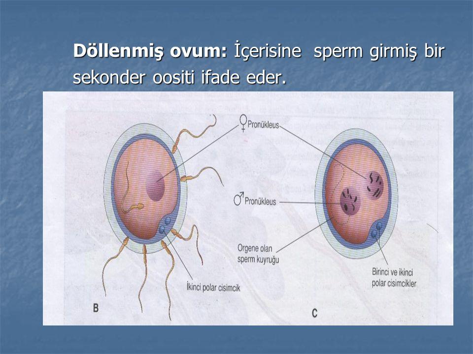 Döllenmiş ovum: İçerisine sperm girmiş bir