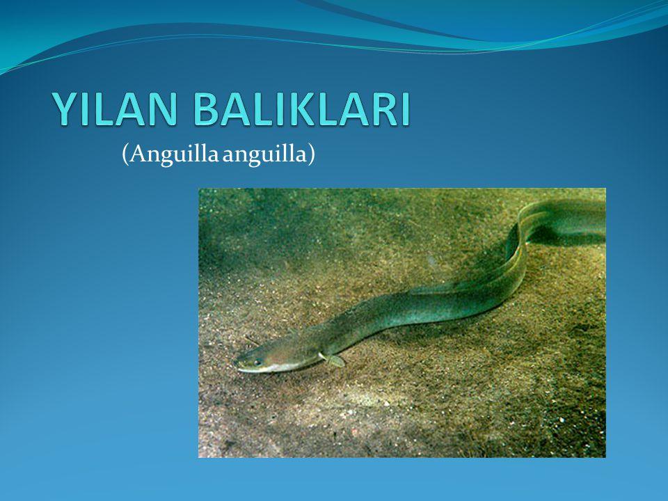YILAN BALIKLARI (Anguilla anguilla)