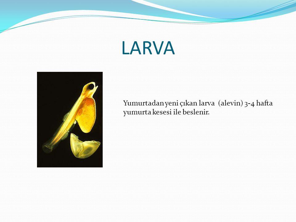 LARVA Yumurtadan yeni çıkan larva (alevin) 3-4 hafta yumurta kesesi ile beslenir.
