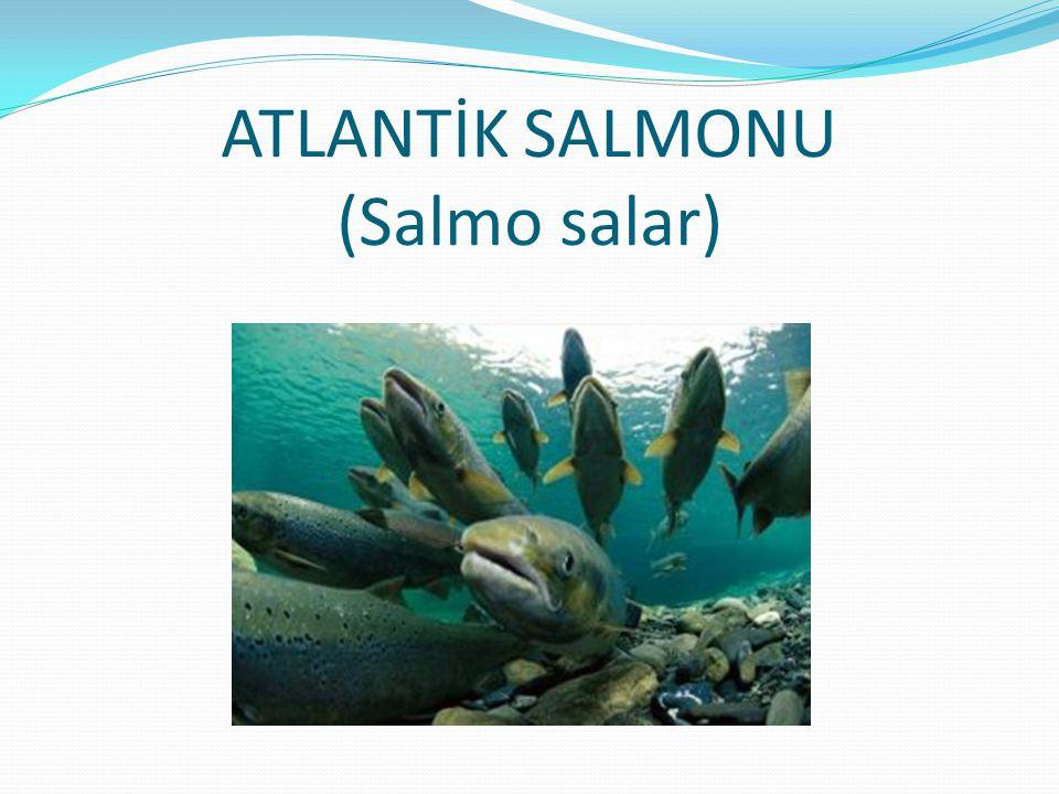 ATLANTİK SALMONU (Salmo salar)