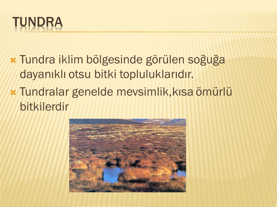 TUNDRA Tundra iklim bölgesinde görülen soğuğa dayanıklı otsu bitki topluluklarıdır.
