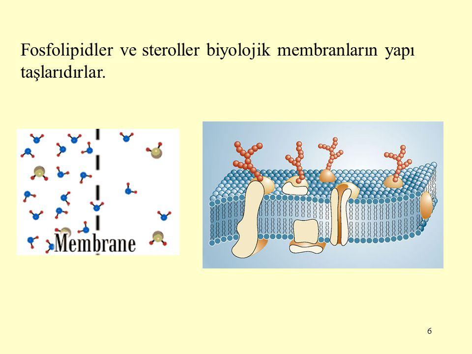 Fosfolipidler ve steroller biyolojik membranların yapı taşlarıdırlar.