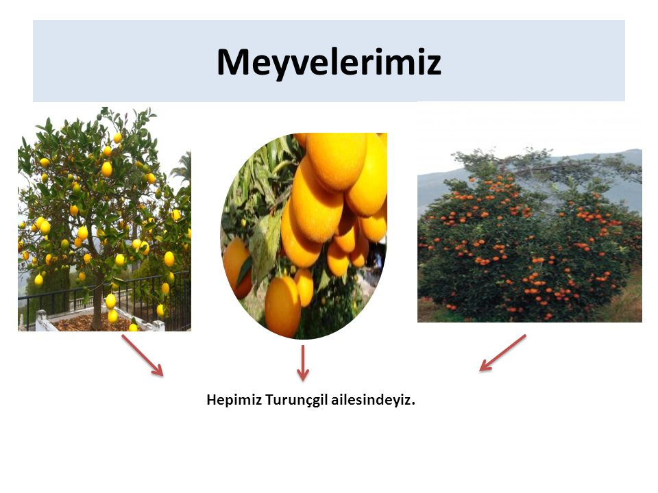 Meyvelerimiz Hepimiz Turunçgil ailesindeyiz.