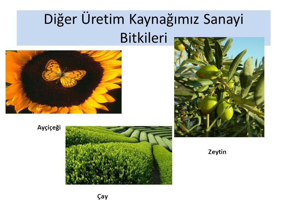 Diğer Üretim Kaynağımız Sanayi Bitkileri