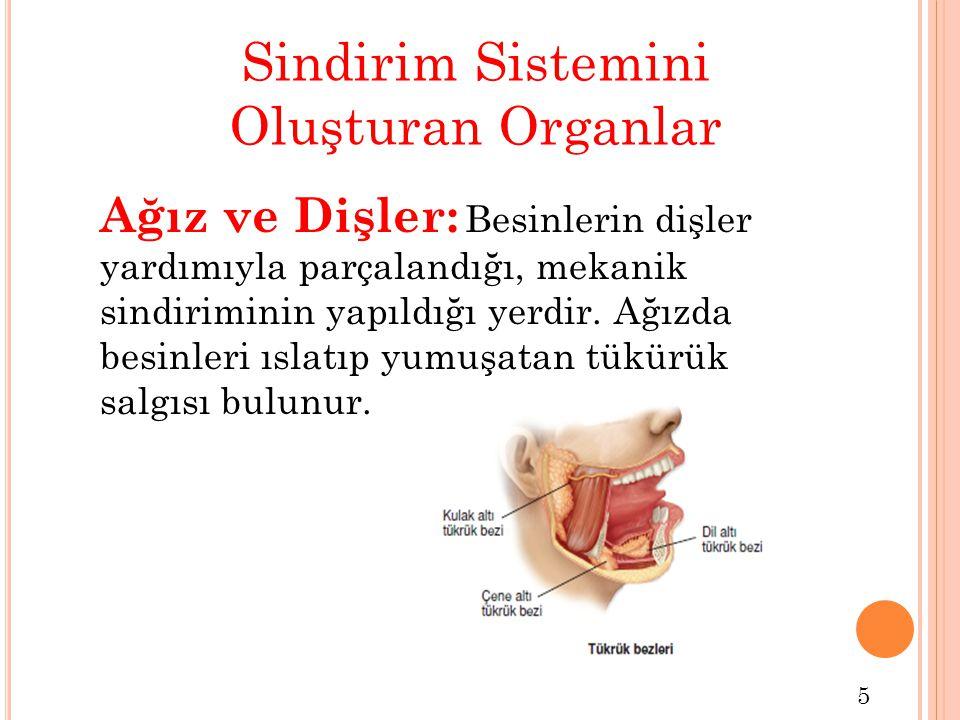 Sindirim Sistemini Oluşturan Organlar