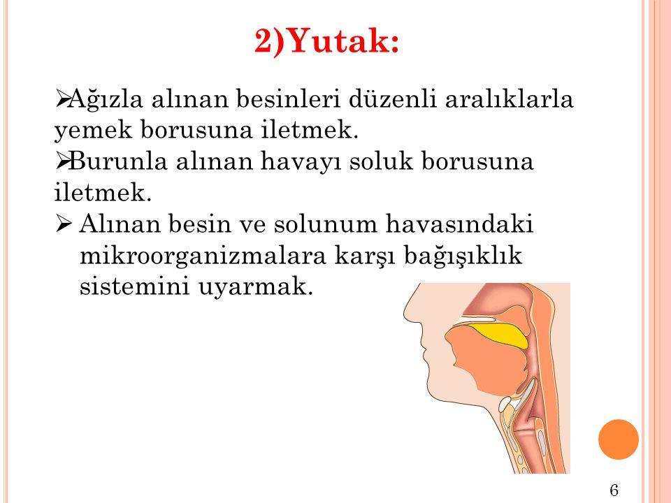 2)Yutak: Ağızla alınan besinleri düzenli aralıklarla yemek borusuna iletmek. Burunla alınan havayı soluk borusuna iletmek.