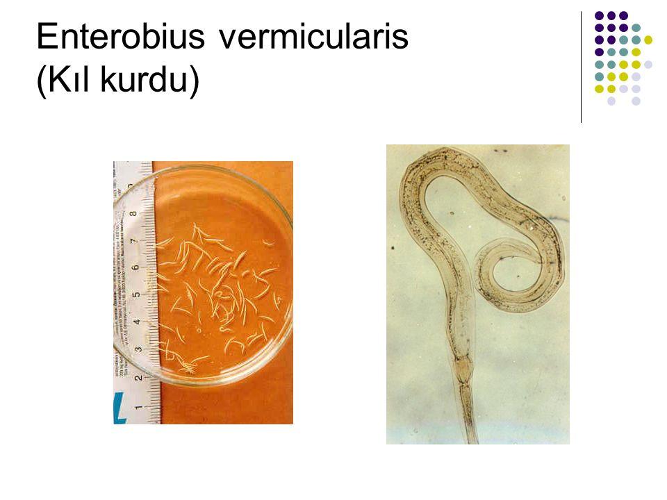 Enterobius vermicularis (Kıl kurdu)
