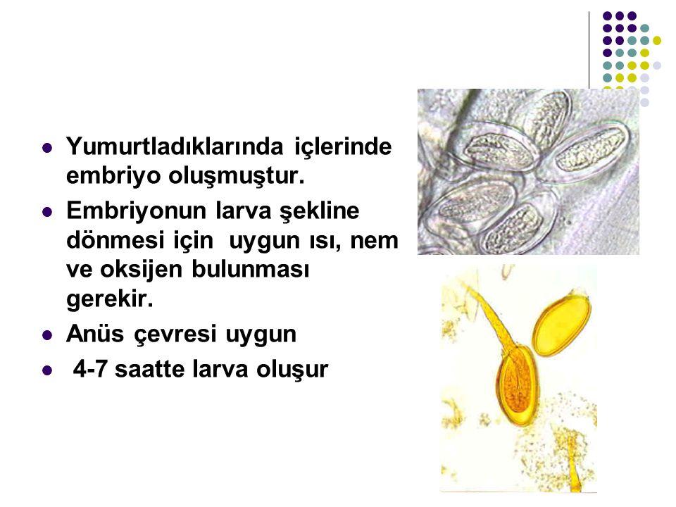 Yumurtladıklarında içlerinde embriyo oluşmuştur.
