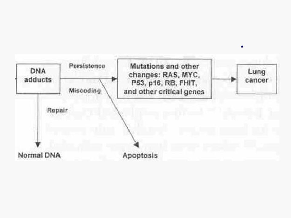 So occurred DNA adducts can cause mutations and cancer