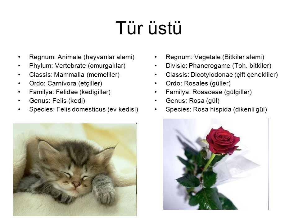 Tür üstü Regnum: Animale (hayvanlar alemi)