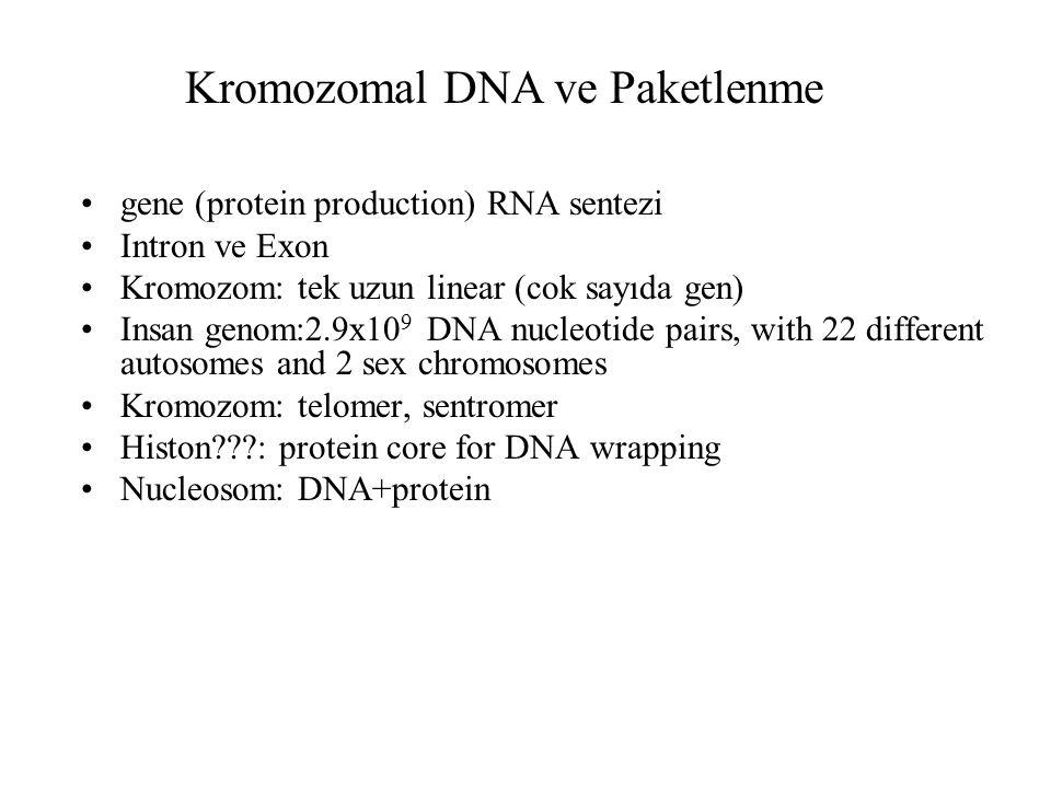Kromozomal DNA ve Paketlenme