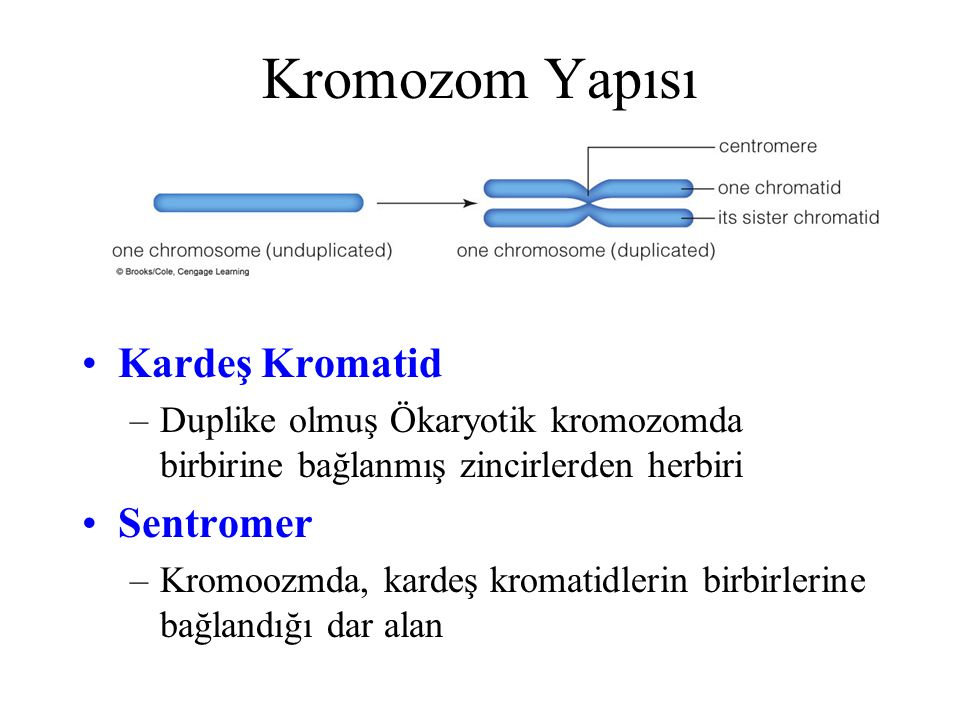 Kromozom Yapısı Kardeş Kromatid Sentromer