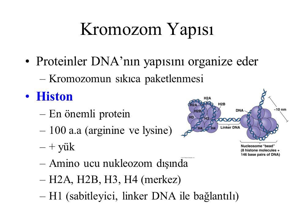 Kromozom Yapısı Proteinler DNA'nın yapısını organize eder Histon