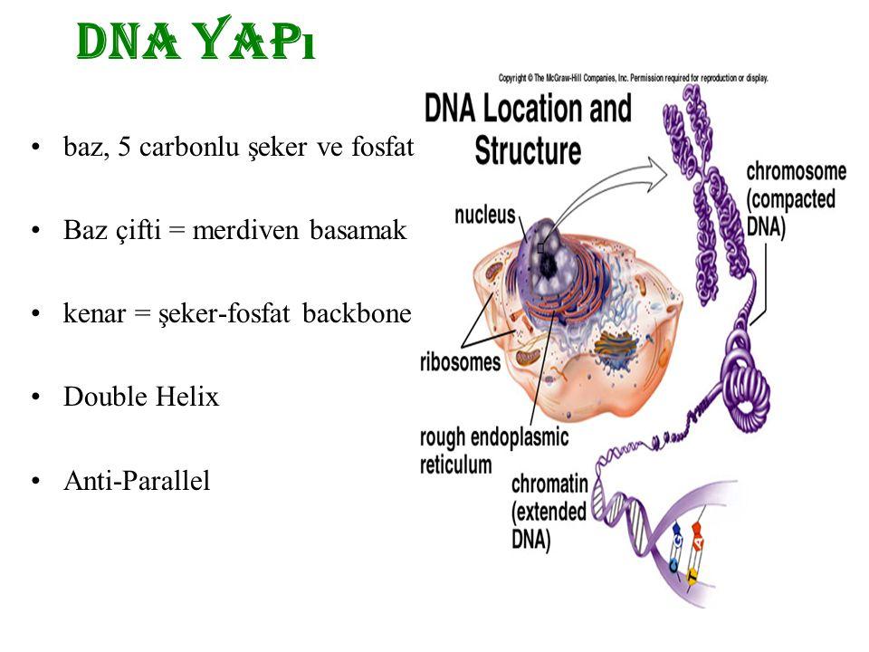 DNA yapı baz, 5 carbonlu şeker ve fosfat Baz çifti = merdiven basamak