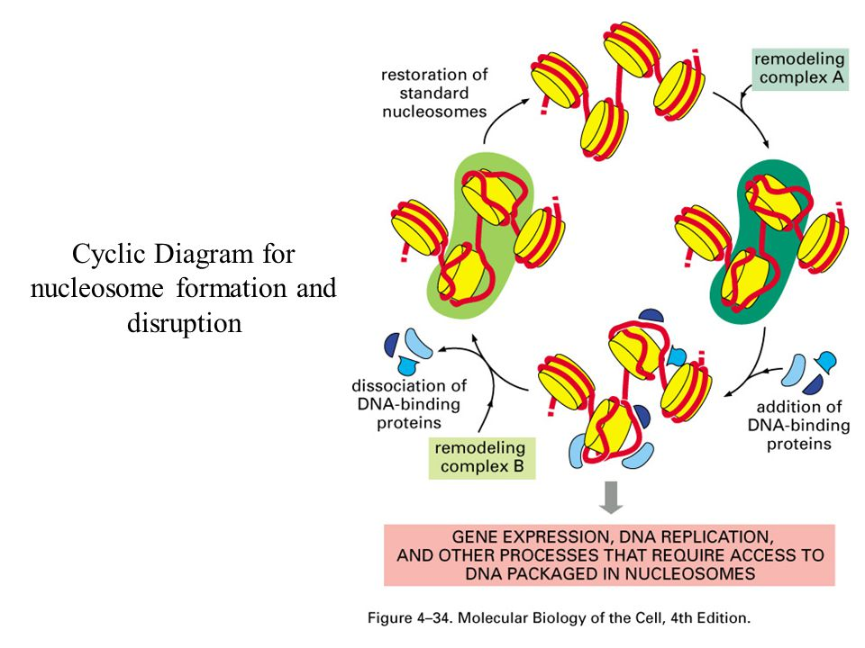 Cyclic Diagram for nucleosome formation and disruption