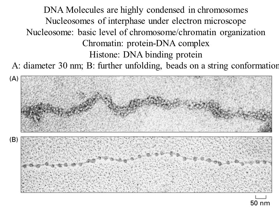 DNA Molecules are highly condensed in chromosomes