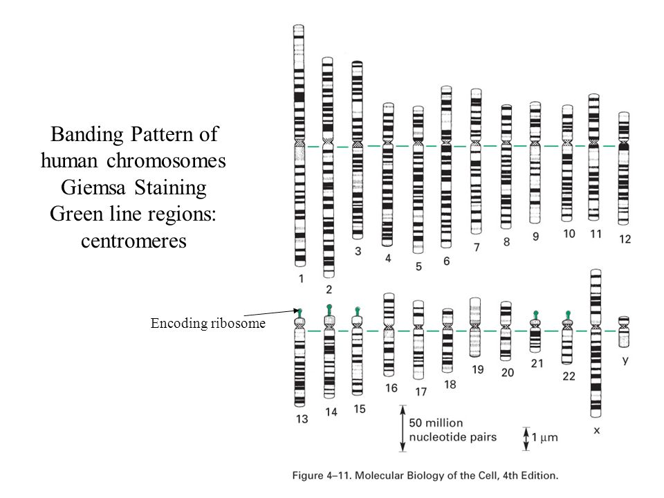 Banding Pattern of human chromosomes Giemsa Staining